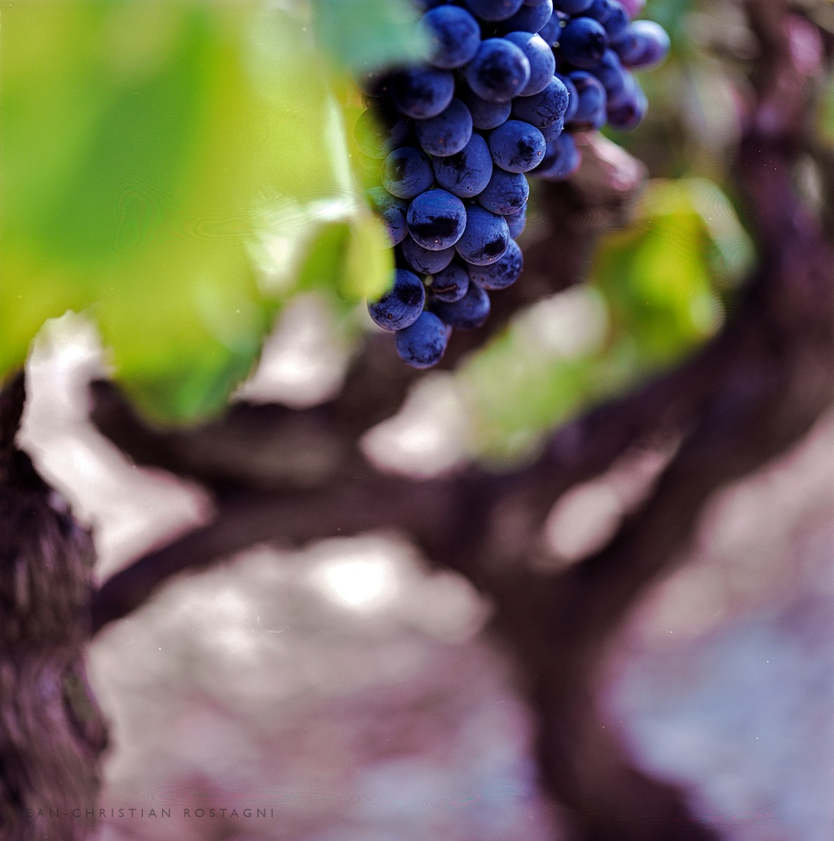 grape raisin cep